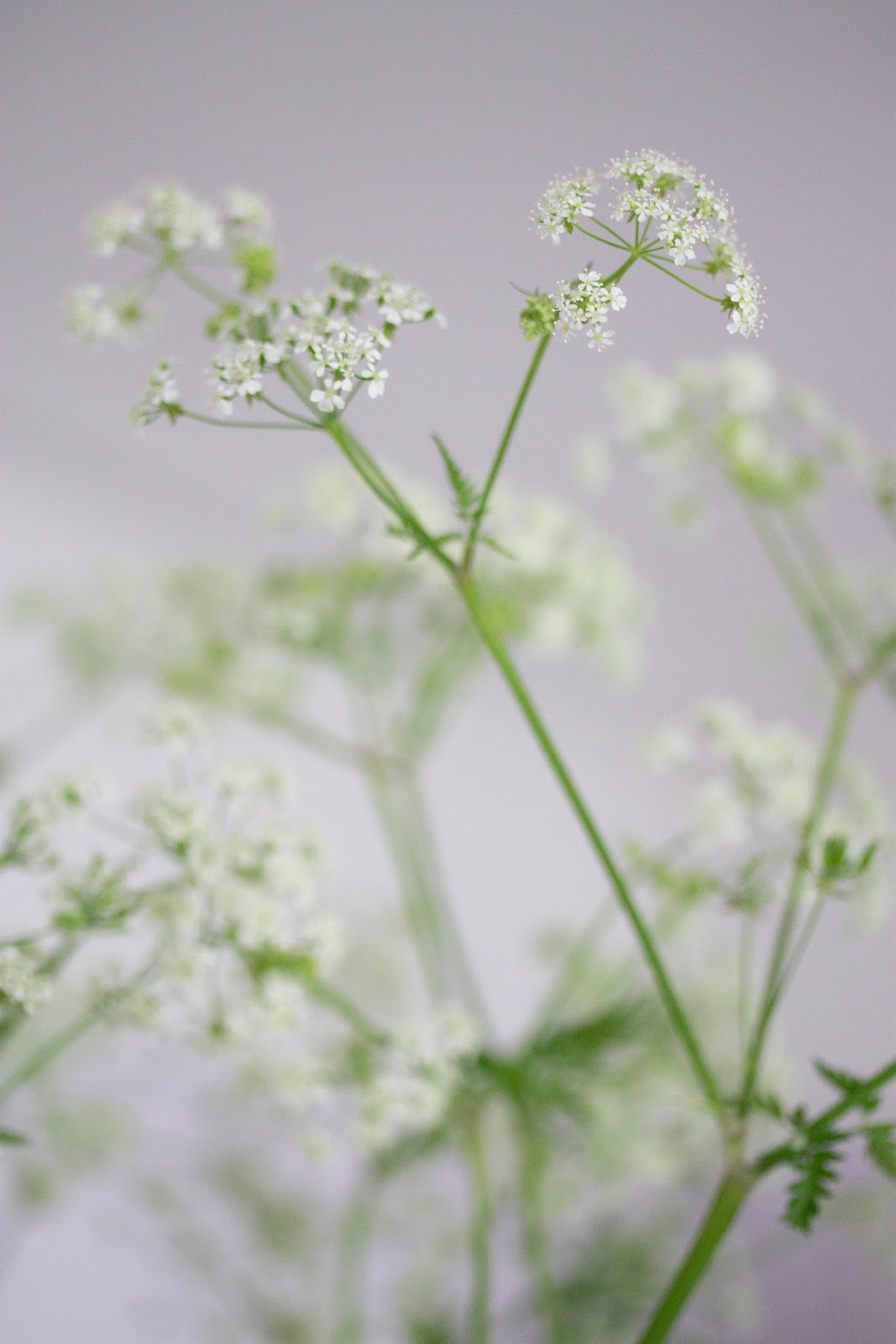 Edited_cowparsley_3