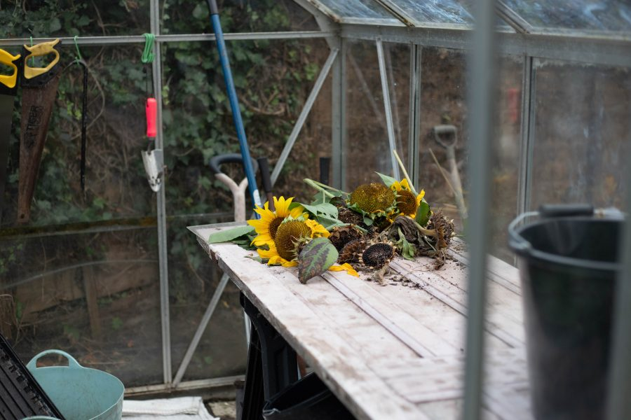 Sunflowers on a cutting bench
