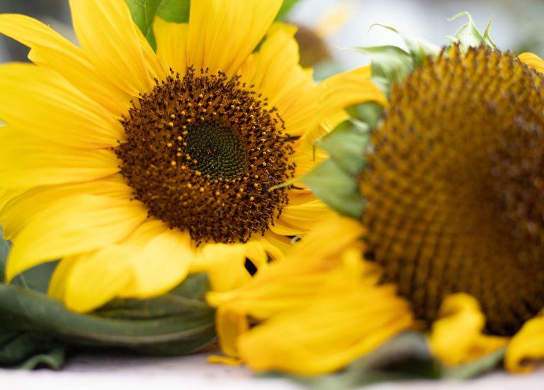 Sunflower_harvest